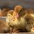 almíscar · pato · aves · domésticas · família · fazenda - foto stock © goruppa