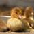 麝香 · カモ · クローズアップ · 家禽 · 家族 · ファーム - ストックフォト © Goruppa