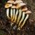 sulphur tuft fungus stock photo © grafvision