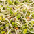 yeşil · ayçiçeği · organik · genç · yalıtılmış · beyaz - stok fotoğraf © grafvision