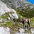 mountain goat stock photo © grafvision