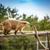 south american coati stock photo © grafvision