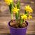 нарциссов · ярко · свежие · весны - Сток-фото © grafvision