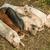 sleeping piglets stock photo © grafvision