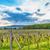 beautiful grape field stock photo © grafvision