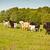 grazing herd of goats stock photo © grafvision