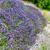 campo · de · lavanda · detalhes · planta · flor - foto stock © grafvision