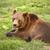 brown bear resting stock photo © grafvision