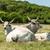 húngaro · cinza · touro · campo · comida · fazenda - foto stock © grafvision