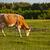 mucca · isolato · natura · panorama · montagna · estate - foto d'archivio © grafvision