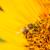 arı · yudum · nektar · sarı · çiçek · doğa · manzara - stok fotoğraf © grafvision