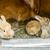 genç · tavşanlar · oturma · beyaz · tavşan · hayvan - stok fotoğraf © grafvision
