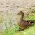 wild duck with ducklings stock photo © grazvydas