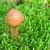 小 · ブラウン · キャップ · ヤマドリタケ属の食菌 · 成長 · 木材 - ストックフォト © grazvydas