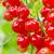 czerwony · porzeczka · Bush · lata · ogród · oddziału - zdjęcia stock © grazvydas