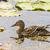 anya · kacsa · víz · család · boldog · madár - stock fotó © grazvydas
