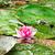 roze · vijver · zomer · blad - stockfoto © grazvydas