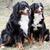 Bernese Mountain Dogs stock photo © grivet