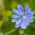 close up blue chicory flower stock photo © gsermek