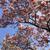 magnolia tree against the blue sky stock photo © gsermek