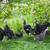 Türkiye · mini · civciv · bezelye · gıda · çatal - stok fotoğraf © gsermek