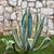 agave · planta · imprimir · macro · pormenor - foto stock © gsermek