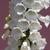 díszítő · zsálya · lila · virág · zöld · tavasz · kert - stock fotó © gsermek