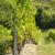 borászat · gyönyörű · sorok · szőlő · égbolt · fa - stock fotó © guffoto