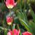 red tulip stock photo © hamik