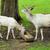 white deer stock photo © hamik