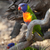 rainbow lorikeet trichoglossus haematodus stock photo © hanusst