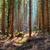 gyönyörű · reggel · fény · lucfenyő · erdő · sugarak - stock fotó © hanusst