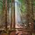 美しい · 光 · スプルース · 森林 · 夜明け · 自然 - ストックフォト © hanusst