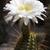 cacto · flores · amarelas · mediterrânico · flor · primavera - foto stock © haraldmuc