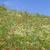 virágzó · kamilla · piros · pipacsok · tavasz · nyár - stock fotó © haraldmuc