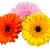 tre · fiori · isolato · bianco · bellezza · Daisy - foto d'archivio © haraldmuc