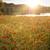 blooming poppy field in warm evening light stock photo © haraldmuc