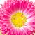 single bellis flower closeup stock photo © haraldmuc