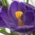 lilac crocus flower closeup stock photo © haraldmuc