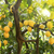 зрелый · лимоны · дерево · солнце · Лучи - Сток-фото © haraldmuc