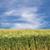 fresh barley field hordeum in bavaria germany stock photo © haraldmuc