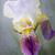 Iris · цветок · красивой · серый · красоту - Сток-фото © haraldmuc