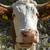 burun · inek · çim · yaz · alan - stok fotoğraf © haraldmuc