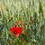 pipacsok · búzamező · Németország · tavasz · fű · út - stock fotó © haraldmuc