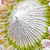 protea flower closeup stock photo © haraldmuc