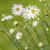 Daisy · небе · синий · завода · белый · желтый - Сток-фото © haraldmuc