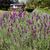 lavanda · canal · Óleo · plantas - foto stock © haraldmuc