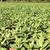 tabaco · plantação · vale · Cuba · unesco · mundo - foto stock © haraldmuc