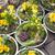желтый · цветок · примула · макроса · весны · дома · дерево - Сток-фото © haraldmuc