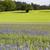 blooming cornflowers centaurea cyanus in a wheat field stock photo © haraldmuc